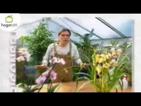 Consejos para el cultivo de la Orquídea Phalaenopsis y Cymbidium