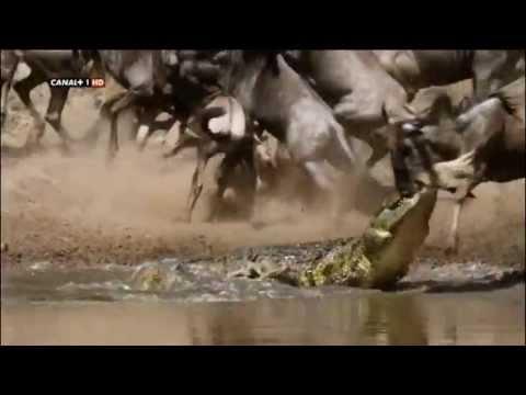 Cocodrilos cazando Ñus
