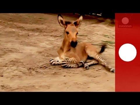 Video: Rare 'zonkey', zebra-donkey baby, born naturally in Mexico
