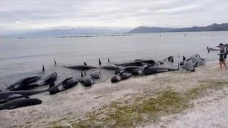 مرگ دلخراش صدها نهنگ در سواحل نیوزیلند