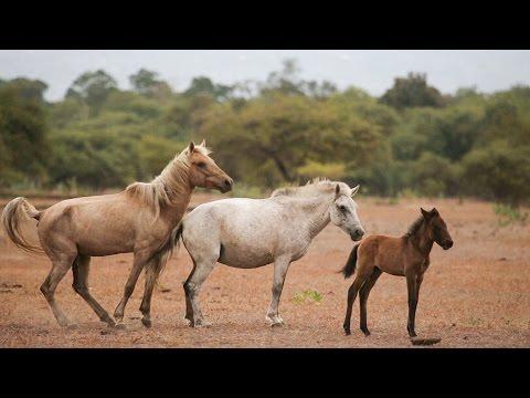 Wild Horses and Buffaloes of Doro Ncanga Sumbawa HD