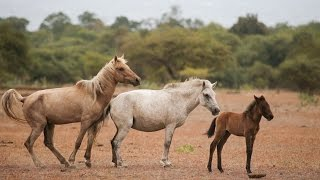 Wild Horses and Buffaloes of Doro Ncanga, Sumbawa(HD)
