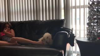 poodle dog hates feet .funny reaction  growls and complains