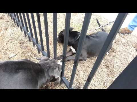 PITBULL FIGHT bluenose vs rednose BAMBINO WIN