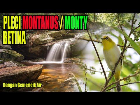 Monty betina dengan suara air mengalir