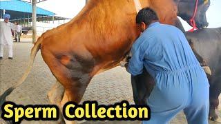 How Collect semen Of Bull @ Bovine Sperm Station India|Farming Technology