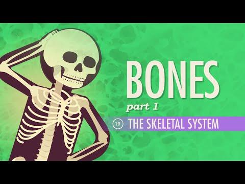 The Skeletal System: Crash Course A&P #19