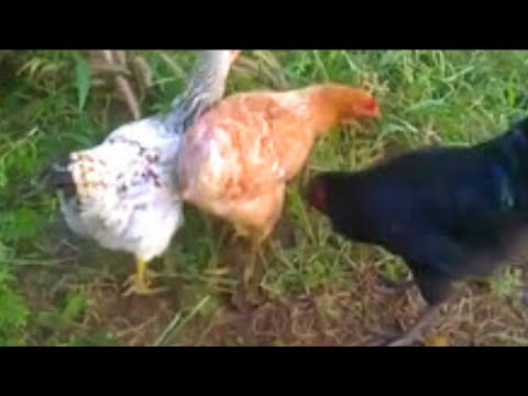 Xxx Mp4 Roosters And Hens Mating In Love 3gp Sex