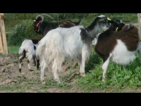 goat toilettage le matin