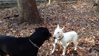 Bull Terrier Vs. Rottweiler Stand off