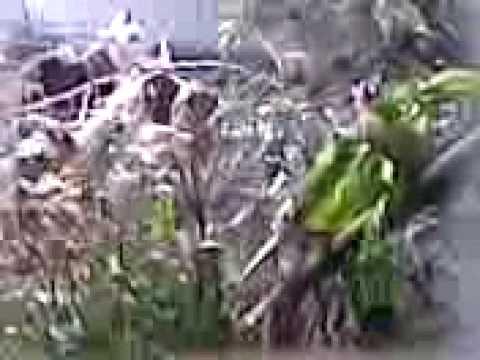 طائر الحسون طائر جميل
