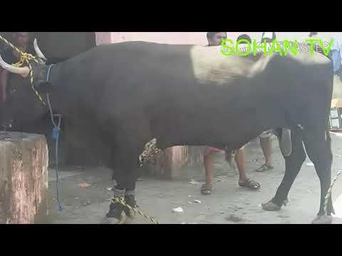 Xxx Mp4 Digital Halal Cow Slaughtering হালাল উপায়ে চাকুদিয়া গরু জবাই SOHAN TV 3gp Sex