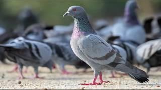 pigeon SOUND ! कबूतर !