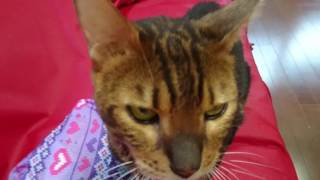 ベンガル猫ピーター君と私の会話