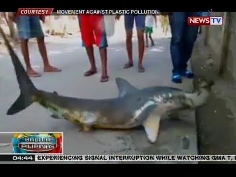 Xxx Mp4 BP Nahuling Hammerhead Shark Nagpumiglas Sa Kalsada At Kalauna Y Namatay 3gp Sex