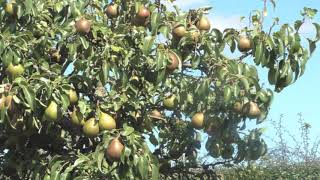 Gaberlunzie - The Pear Tree