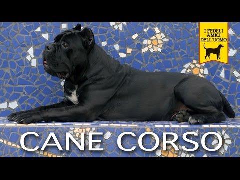 CANE CORSO ITALIANO trailer documentario Prima Edizione