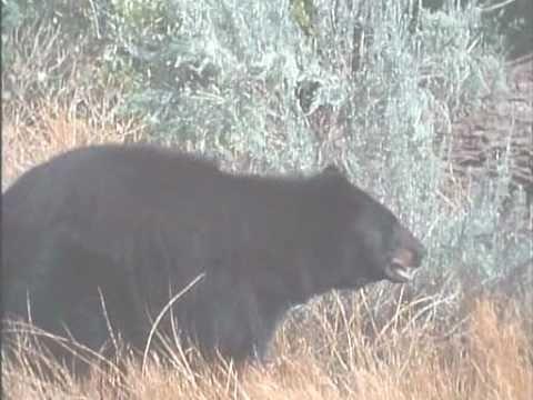 Cougar VS American Black Bear Complete Version