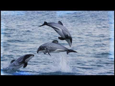 Save Maui Dolphin