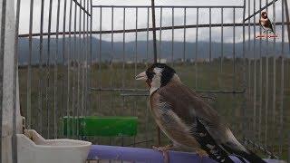 أجمل أغاني ,طائر الحسون,صوت الحسون البري