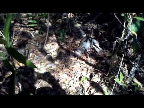 Caceria De Picure En Los Llanos De Venezuela