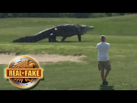 GIANT ALLIGATOR ON GOLF COURSE real or fake