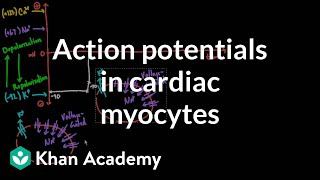 Action potentials in cardiac myocytes | Circulatory system physiology | NCLEX-RN | Khan Academy