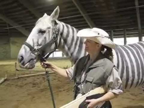 Zebra Horse, the Zorse, wins Halloween Costume Parade