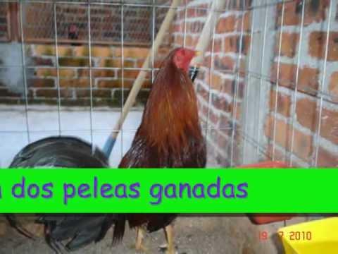 GALLOS DE PELEA parte 1
