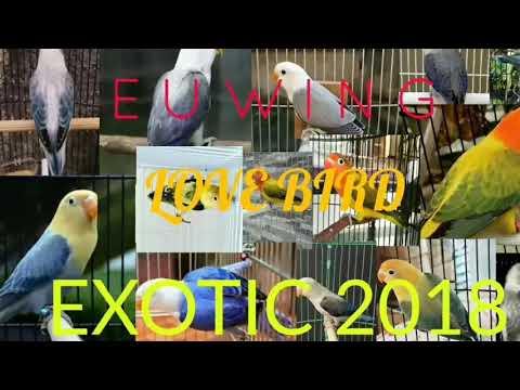 Jenis LoveBird Euwing 2018 || Harga Sangat FANTASTIS || Cuma bisa ngilerrr