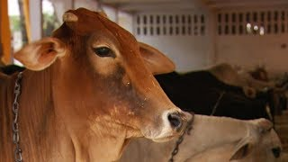 Sacred Cows Rescued From Illegal Slaughterhouses | Simon Reeve: Sacred Rivers | BBC Earth