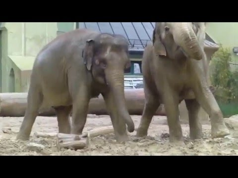 Xxx Mp4 Asian Elephants Mangala Panang Temi Enjoying Their Early Morning Bath At Munich S Zoo 3gp Sex