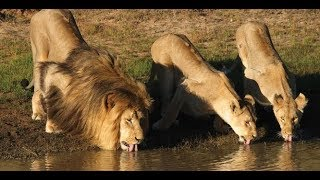 African Lion Video in Delhi Zoo - Welcome National Zoological Park of Delhi