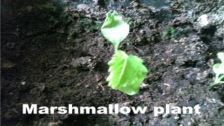 Growing Marshmallow plants at home