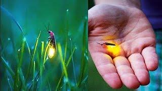 জোনাকির আলো বিদ্যুৎ ছাড়া কীভাবে জ্বলে ! How does the light of Jonaki flame without electricity?