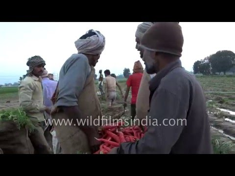 Carrot harvest in India - weirdest way to clean and wash carrots with feet!