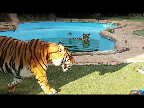 Xxx Mp4 The Sound From A Tiger If It Gets Hit On The Head With Its Mouth Open 3gp Sex