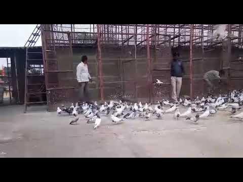 Xxx Mp4 301 Udan High Flying Pigeon At Kota Rajsthan 3gp Sex