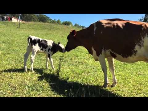 Ex-Dairy Cow bonding with calf separated from mother at birth