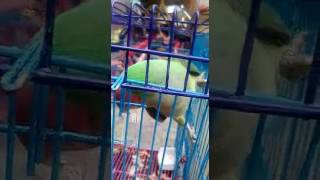 Talking parrot mian mithu