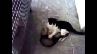 Nargle & Miu Kittten and ferret playing