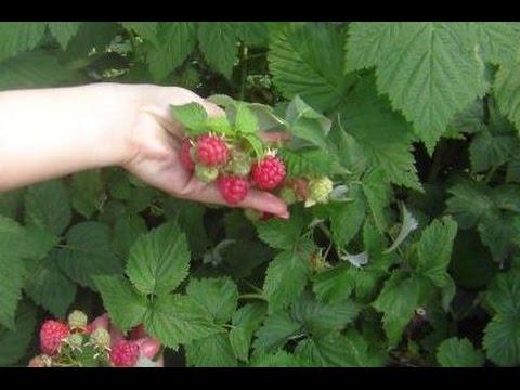 Выращивание ежевики на украине 76