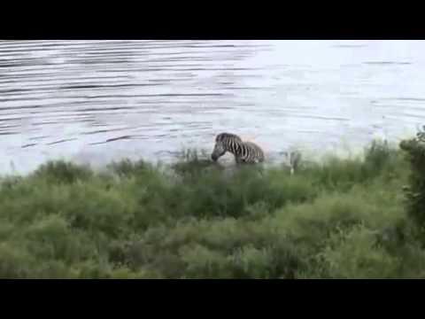 Cocodrilo Captura a una Zebra