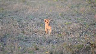 Close call as buffalo charges lion cub