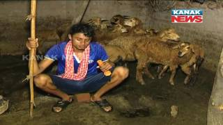 Niali Sheep Deaths: Villagers Claim Presence Of Unknown Creature; Footsteps Spoted