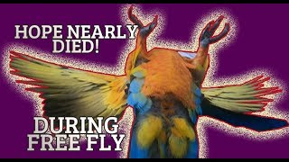 MY PARROT NEARLY GOT KILLED ** THIS IS THE DANGER OF FREE FLYING