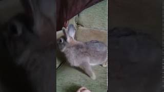My rabbit previously had e.cuniculi