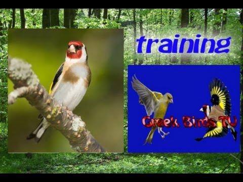 Goldfinch Carduelis Carduelis songs El canto de jilguero