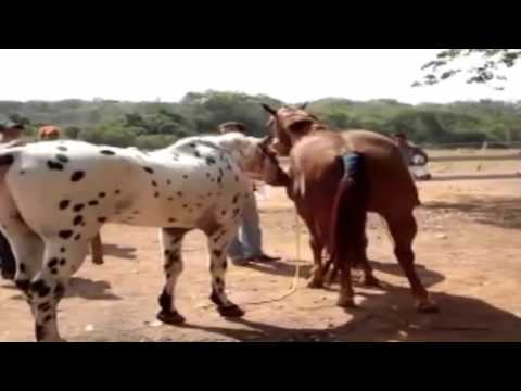 Xxx Mp4 Funny Animals Horse Mating Animals ShowMania 3gp Sex