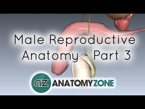 Introduction to Male Reproductive Anatomy - Part 3 - The Penis